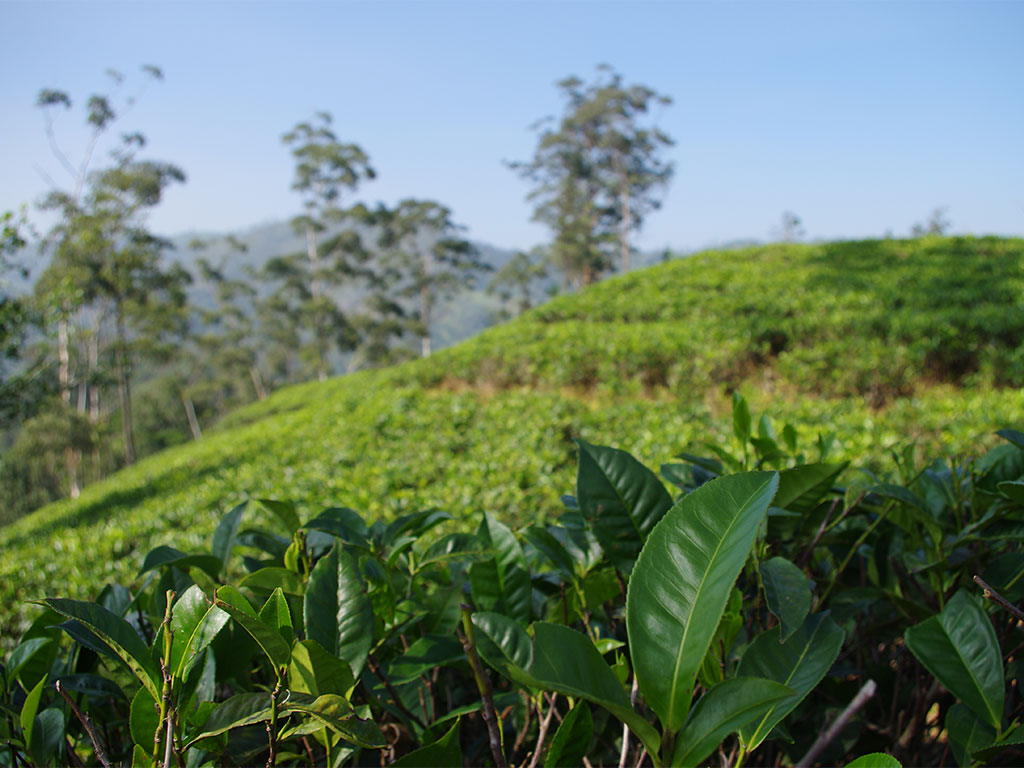 Ella Sri Lanka Teeplantagen